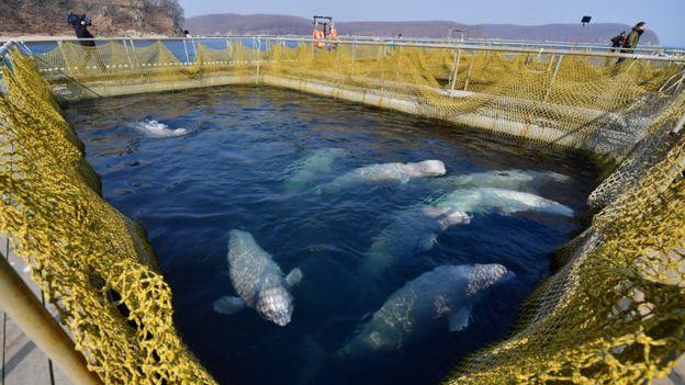 Belugas capturadas en corrales marinos.