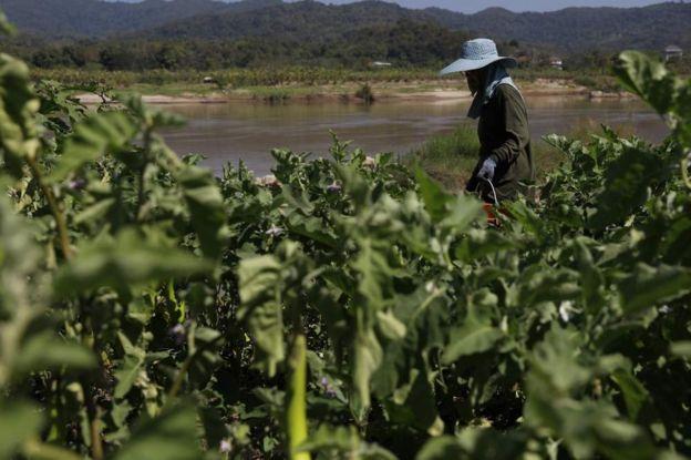 上游水壩工程給湄公河水面帶來了嚴重波動,對湄公河沿岸的農業造成了影響。