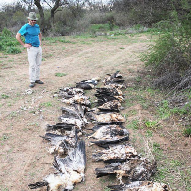 Águilas muertas