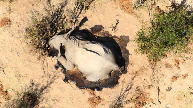 El cuerpo de un elefante cerca de los arbustos.