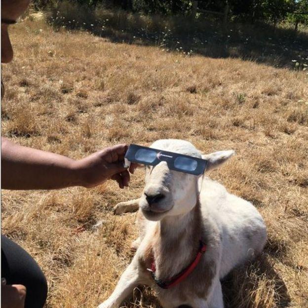 Una cabra con lentes de eclipse.