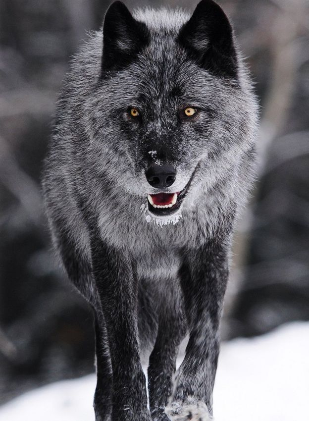 in pictures your wolf encounters bbc news