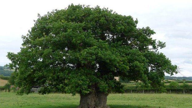 The Brimmon tree