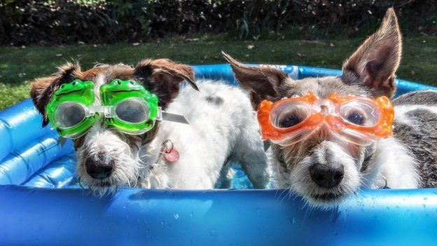 Dogs in swimming goggles in a paddling pool
