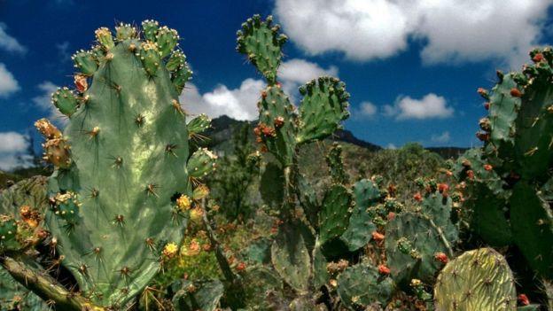 Los cactus introducidos por los marineros añaden color al paisaje árido.