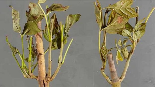 Examples of ash dieback (Image: Forestry Commission)