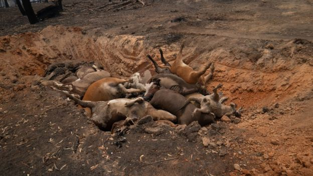 Dead cattle in a ditch on the Attree's property