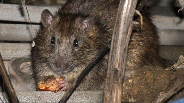 英格蘭盧頓某公園旁一隻老鼠躲藏在食店周邊進食殘羹(資料圖片)