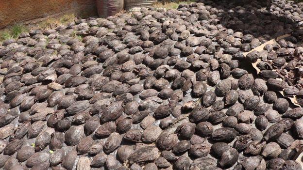 Cabosses vides cacao au séchage