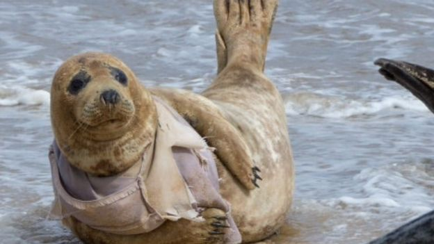 worst year for horsey seals injured by rubbish bbc news