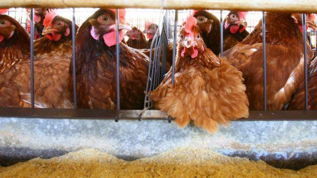 Aves em galinheiro