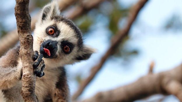 لیمور ؛ 87 درصد پستانداران عالی در ماداگاسکار در معرض خطر انقراض هستند