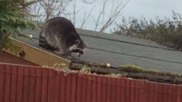 Raccoon rescued from a Cambridgeshire couple's roof - BBC News