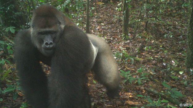 Un gorila lomo plateado del río Cross