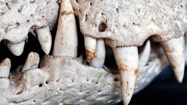 Dentes de dinos