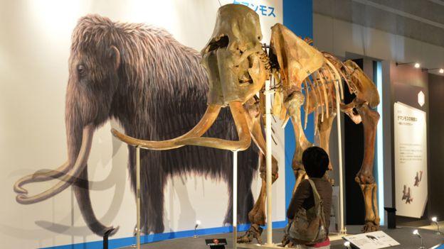 Ilustración y reconstrucción del esqueleto de un mamut en una exhibición en Japón