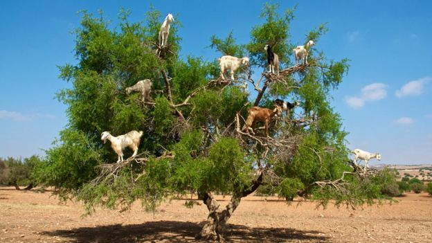 Cabras en Marruecos