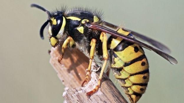 Avispa chaqueta amarilla