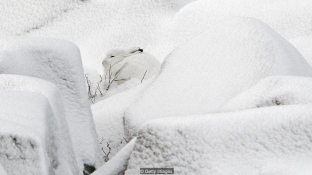Lebre do ártico