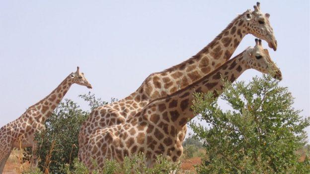 Nigerijske žirafe