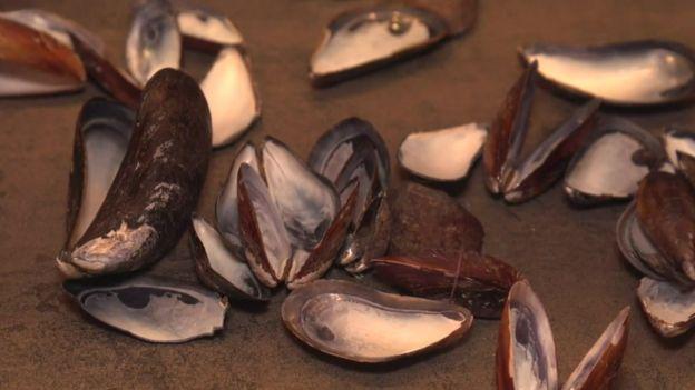 Conchas de mejillones