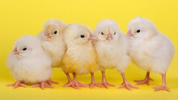 刚出壳的雏鸡就具备非凡的技能。(图片来源: Ernie Janes/naturepl.com)