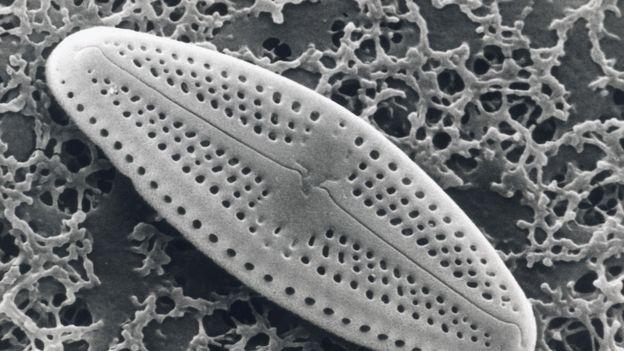Diatomea, alga unicelular que es un tipo de fitoplancton