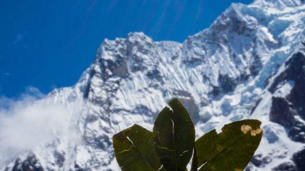 Hojas de coca cerca de una montaña