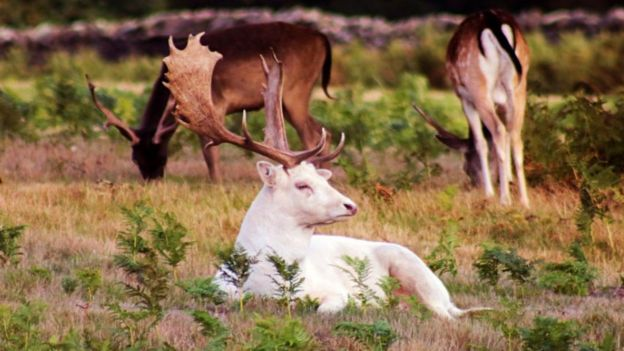 Picture of a white white fallow buck at Bradgate Park, Leicestershire