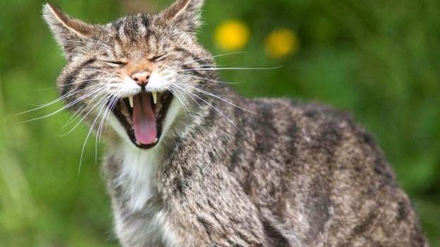 A Scottish wildcat
