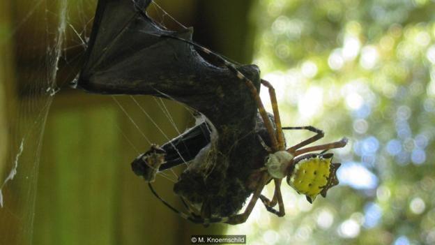 A spider (Argiope savignyi) feeding on a proboscis bat (Rhynchonycteris naso) (Credit: M. Knoernschild)
