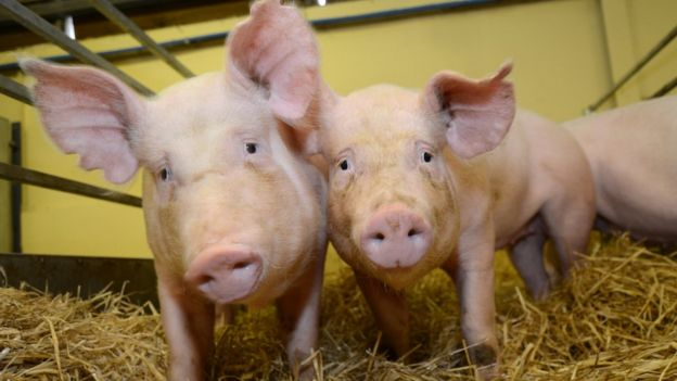 These gene edited pigs are resistant to one of the world's most costly animal diseases