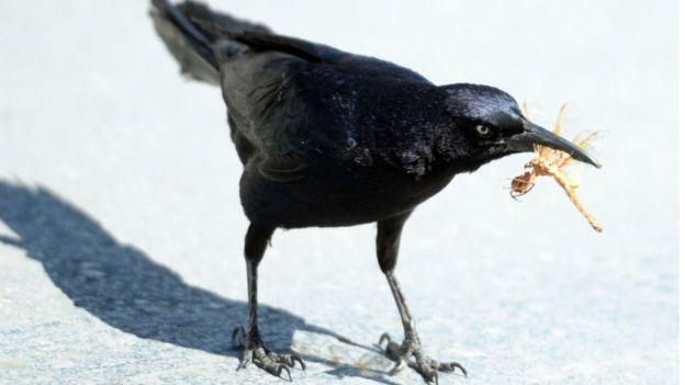Um corvo preto comendo um inseto