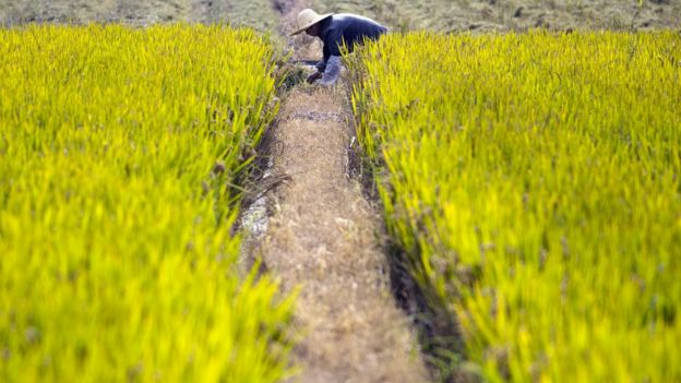 A woman working in a rice field on the outskirts of Shanghai. (Nov 15, 2016)
