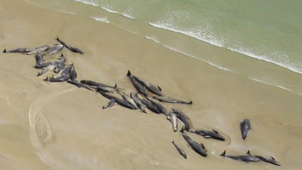 выбросившиеся черные дельфины