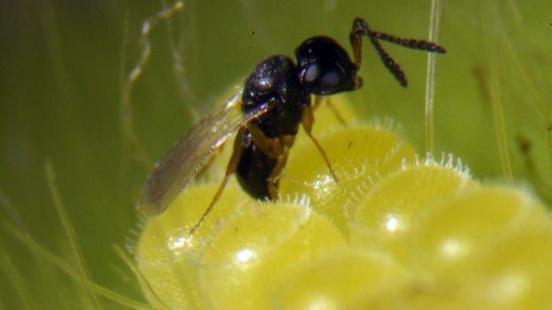 A trichogramma wasp