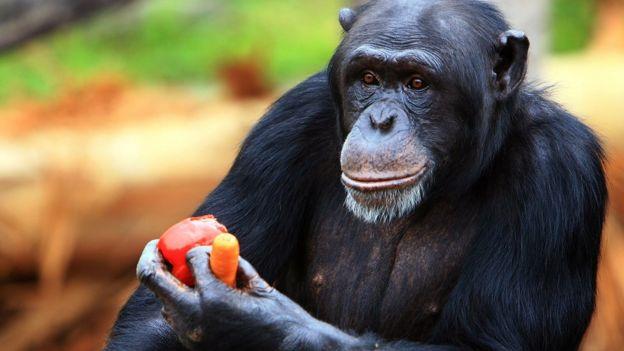 Chimpancé comiendo verduras.