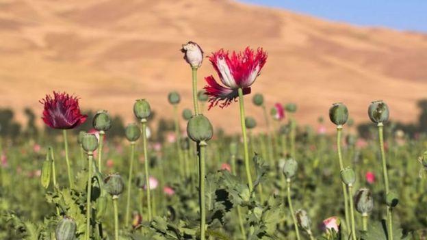 خشخاش در افغانستان