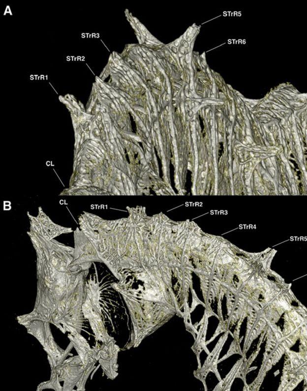 Tomografía computarizada del tronco anterior de un japapigu machu
