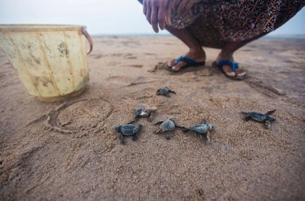 A local guard releases hatchlings from a hatching nursery