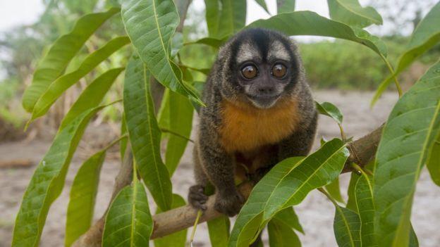 Un mico nocturno en la selva amazónica de Perú