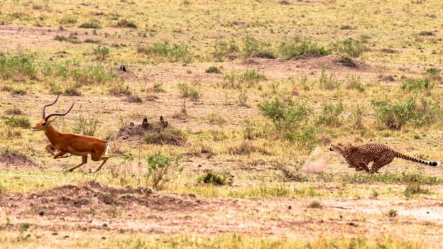 Impala perseguido por guepardo