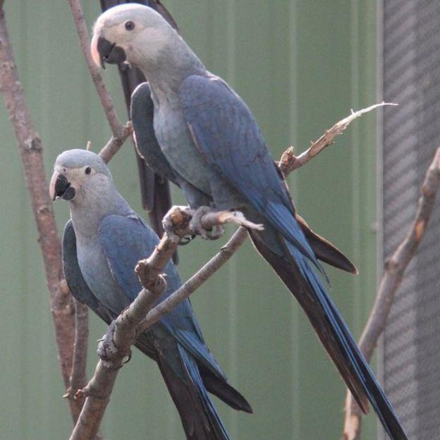 As ararinhas-azuis Carla e Tiago