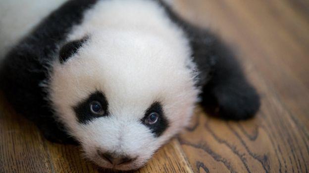 Giant panda cub at the Chengdu Research Base of Giant Panda Breeding