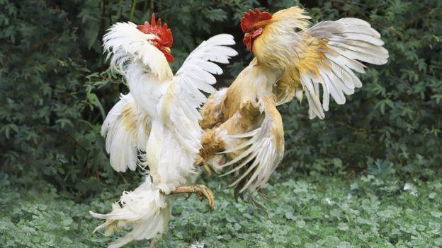 Mujer gallo en la cresta de