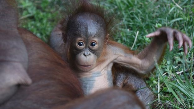 What is sustainable palm oil? - BBC News