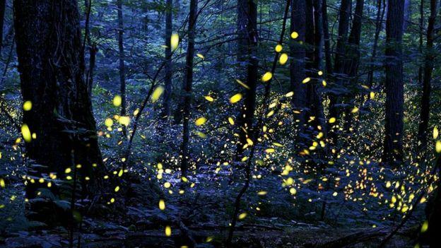 Полёт светлячков в мрачном лесу (в парке Грейт-Смоки-Маунтинс, США)