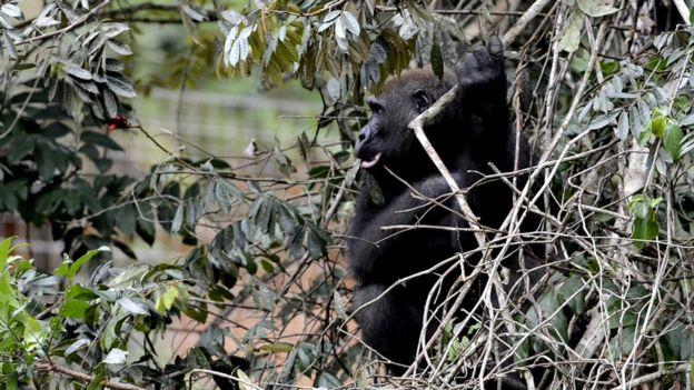 Gorila se pendurando em uma árvore em um santurário no Gabão