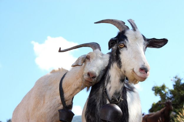 Two goats agains a bright blue sky