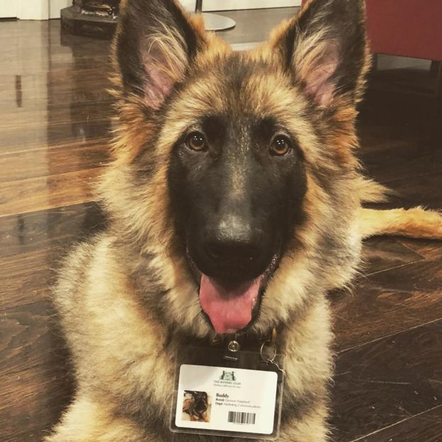 A German shepherd wearing a lanyard which has his name, Buddy, written on it. It's mocked up to look like an ID card with his picture and a barcode. He is a very happy dog.
